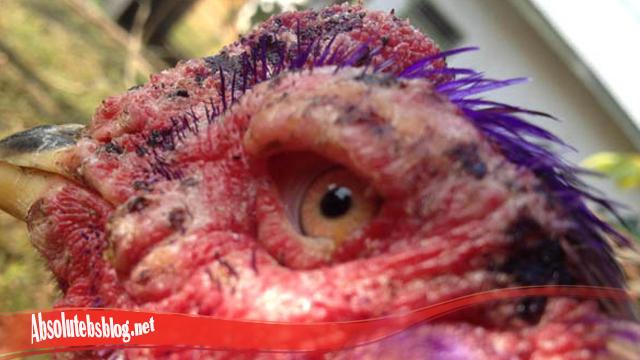 Pastikan Cepat Sembuh Luka Pada Mata Ayam S128