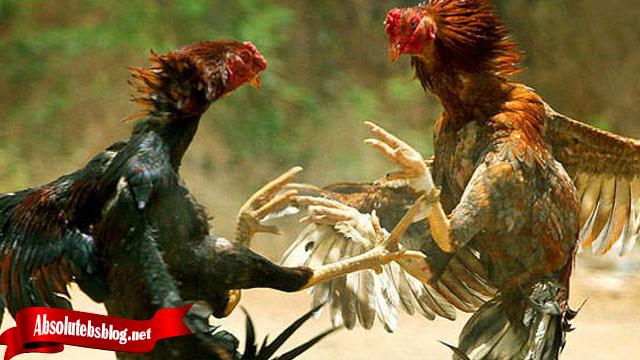 Mengenal Lebih Lagi Tentang Jurus Bongkar Ayam Bangkok
