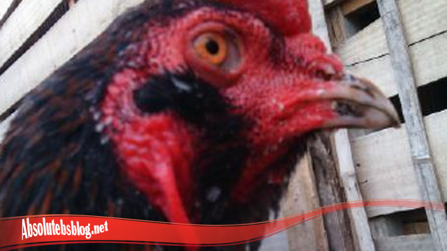 Arti Kumis Pada Ayam Bangkok S128